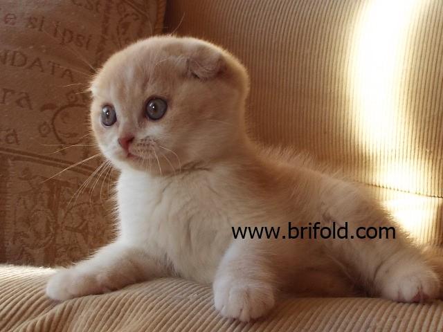 BRIFOLD Scottish Fold and British Shorthair Scotland UK - Brifold Cats